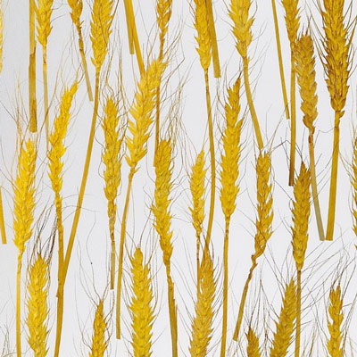 AW-0715 Golden Wheat SS - Translucent Materials